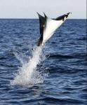 Pesce volante.jpg